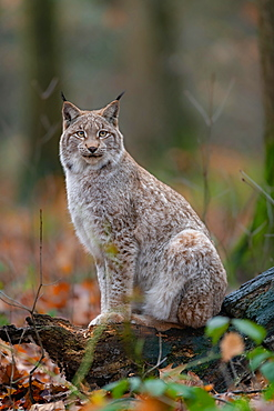 Lynx (Lynx lynx), sitting, captive, Germany, Europe