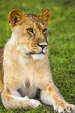 Lioness (Panthera leo), lies attentively in the grass, Serengeti National Park, Tanzania, Africa