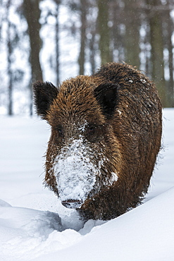 Wild boar (Sus scrofa) in snow, Baden-Wuerttemberg, Germany, Europe