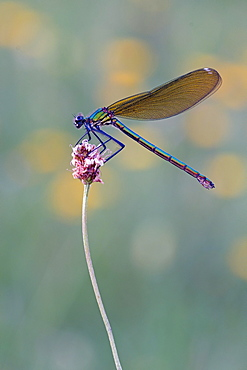 Beautiful demoiselle (Calopteryx virgo) sitting on flower, Bavaria, Germany, Europe