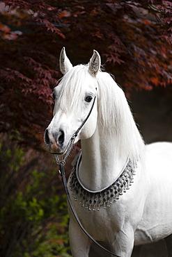 Thoroughbred Arabian grey stallion with halter, portrait, Austria, Europe