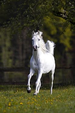 Thoroughbred Arabian grey stallion in spring on the pasture, Tyrol, Austria, Europe