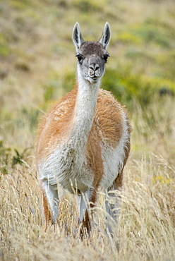Guanaco (Llama guanicoe), stands in high grass, Torres del Paine National Park, Region de Magallanes y de la Antartica Chilena, Patagonia, Chile, South America