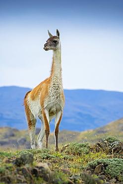 Guanaco (Llama guanicoe), also , is on lookout, Torres del Paine National Park, Region de Magallanes y de la Antartica Chilena, Patagonia, Chile, South America