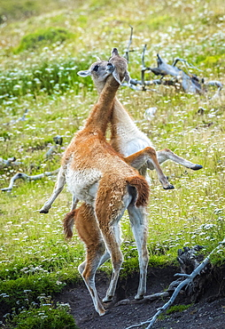 Guanacos (Llama guanicoe), two animals in playful combat, Torres del Paine National Park, Region de Magallanes y de la Antartica Chilena, Patagonia, Chile, South America