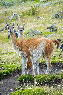 Guanacos (Llama guanicoe), Torres del Paine National Park, Region de Magallanes y de la Antartica Chilena, Patagonia, Chile, South America
