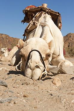 Dromedary (Camelus dromedarius), lies in sandy soil, Sinai, Egypt, Africa