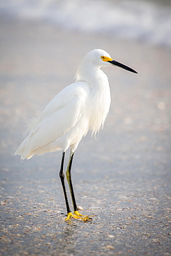 Little egret (Egretta garzetta) at the beach, Longboat Key, Florida, USA, North America