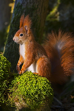Eurasian red squirrel (Sciurus vulgaris) sits on moss, Bavaria, Germany, Europe