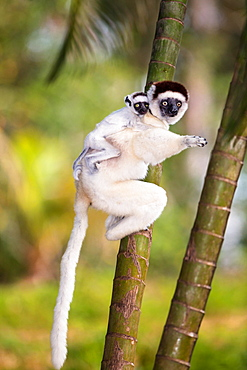 Verreaux's sifaka (Propithecus verreauxi), with baby animal on the back, Nahampoana Reserve, South Madagascar, Madagascar, Africa