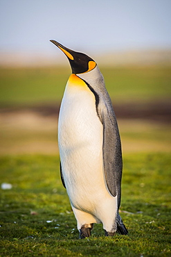 King penguin (Aptenodytes patagonicus) is in a meadow, Volunteer Point, Falkland Islands, South America