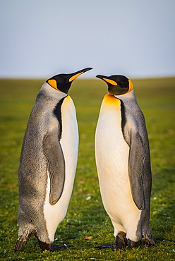 King penguins (Aptenodytes patagonicus) stand in a meadow, Volunteer Point, Falkland Islands, South America