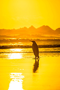 King penguin (Aptenodytes patagonicus) on the beach at sunrise, Volunteer Point, Falkland Islands, South America
