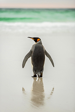 King penguin (Aptenodytes patagonicus) at the beach, rear view, Volunteer Point, Falkland Islands, South America