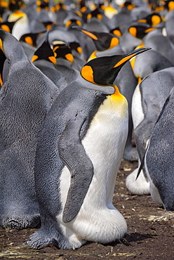 King penguin (Aptenodytes patagonicus) with abdominal crease during hatching, breeding colony, Volunteer Point, Falkland Islands, South America