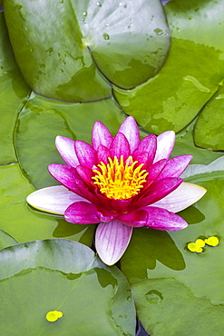 Pink Water lily (Nymphaea) duckweed, Baden-Wuerttemberg, Germany, Europe