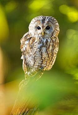 Tawny owl (Strix aluco), captive, Sumava, Czech Republic, Europe