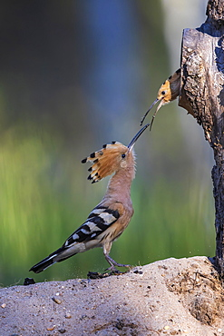 Hoopoe (Upupa epops) male feeding brooding female, Middle Elbe Biosphere Reserve, Saxony-Anhalt, Germany, Europe