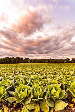 Kale heads on the field, Austria, Europe