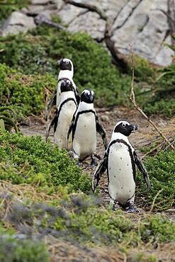 African penguin (Spheniscus demersus), adult, group, on land, on the beach, running, Betty's Bay, Stony Point Nature Reserve, Western Cape, South Africa, Africa