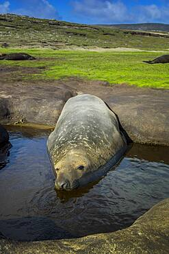Southern elephant seal (Mirounga leonina), cools in a pond, Carcass Island, Falkland Islands, Great Britain, South America
