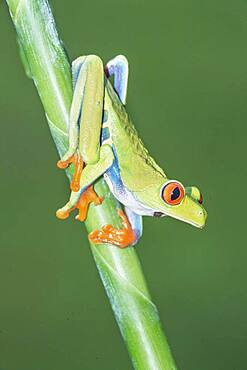 Red-eyed tree frog (Agalychnis callidryas) on green trunk, Sarapiqui, Costa Rica, Central America