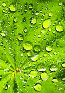 Water drops on a green leaf, Upper Austria, Austria, Europe