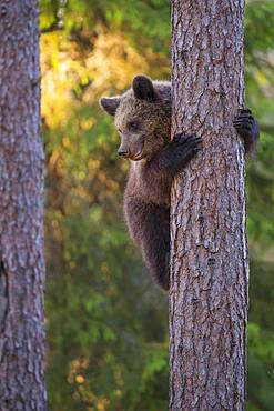 Young (Ursus arctos) climbs a tree in the boreal coniferous forest, Suomussalmi, Karelia, Finland, Europe