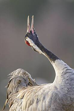 Crane (grus grus) trumpeting at the courtship display in spring, call, courtship display, Vaestergoetland, Sweden, Europe