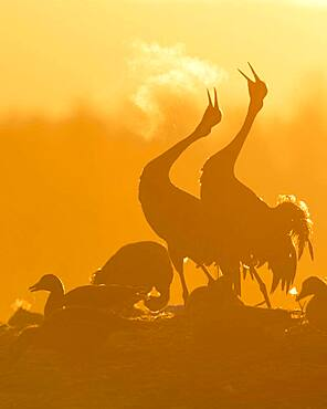 Silhouette, two cranes (grus grus) calling with breath at sunrise, dance of the cranes, bird migration, Vaestergoetland, Sweden, Europe