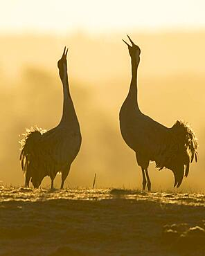 Silhouette of Grey Common cranesn (grus grus), pair of animals, courtship at sunrise, dance of the cranes, Vaestergoetland, Sweden, Europe