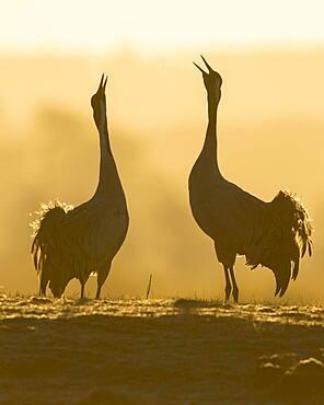 Silhouette of Grey Common cranesn (grus grus), pair of animals, courtship at sunrise, dance of the cranes, Vaestergoetland, Sweden, Europe