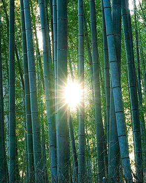 Arashiyama Bamboo Forest with sun, Kyoto, Japan, Asia