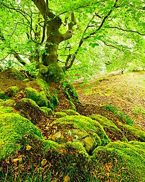 Gnarled old beech on rocks with moss in spring, fresh green foliage, Kellerwald-Edersee National Park, Hesse, Germany, Europe