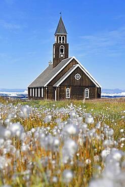 Cottongrass ( Eriophorum) , in a meadow, behind Zion Church in Disko Bay, Ilulissat, West Greenland, Greenland, North America