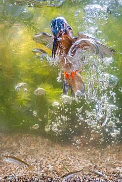 Common kingfisher ( Alcedo atthis) diving under water for fish, prey thrust, hunting, naarden, Netherlands