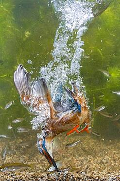 Common kingfisher ( Alcedo atthis) diving under water for fish, prey thrust, hunting, naarden, Netherlands