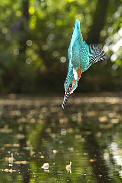 Spoils of the Common kingfisher ( Alcedo atthis) , flying, hunting, Netherlands
