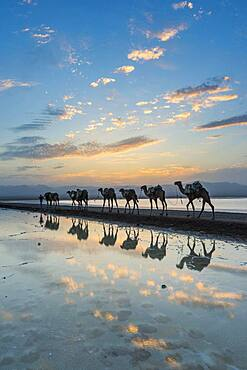 Camels loaded with rock salt slabs walk at sunset through a salt lake, salt desert, Danakil depression, Ethiopia, Africa