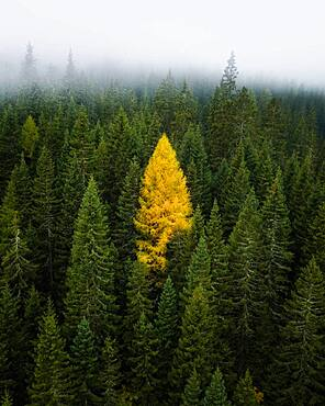 Single yellow larch between coniferous forest with fog, South Tyrol, Italy, Europe