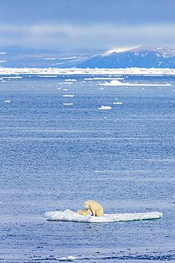 Polar bear with baby on ice floe, East coast Greenland, Denmark, Europe