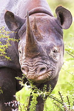 Black rhinoceros (Diceros bicornis), eating, portrait, Etosha National Park, Namibia, Africa