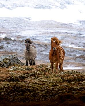 Two horses in frontal position in front of snow-covered mountain, Olafsvik, Iceland, Europe
