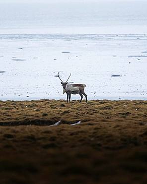 Deer in the distance on yellow grassland, Hoefn, Iceland, Europe
