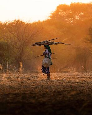 Shepherdess with sticks on her head walking on dry earth with dust during sunset, Bagan, Myanmar, Asia
