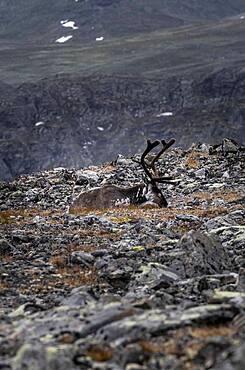 Reindeer (Rangifer tarandus) on the mountainside of Veslfjellet, Besseggen, Jotunheimen National Park, Vaga, Innlandet, Norway, Europe