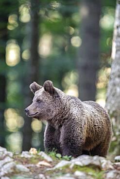 European brown bear (Ursus arctos arctos) in forest, in the wild, Notranjska region, Dinaric Alps, Slovenia, Europe