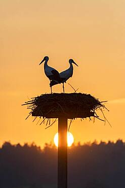 White stork, stork nest in the evening light, pair, Ciconia ciconia, Luetzelsee, Canton Zurich, Switzerland, Europe
