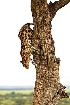 Leopard (Panthera pardus) wrestling from a tree, Massai Mara, Kenya, Africa