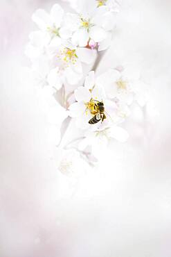 Honey bee (Apis mellifera) on cherry blossoms (Prunus serrulata), Emsland, Lower Saxony, Germany, Europe
